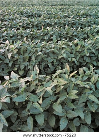 Rows of Soy Beans - stock photo