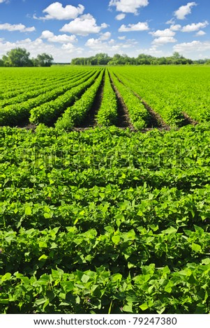 Rows of soy plants in a cultivated farmers field - stock photo