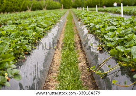Rows of strawberries in a strawberry farm in country Victoria, Australia