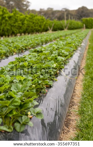 Rows of strawberry plants and apple trees in a field