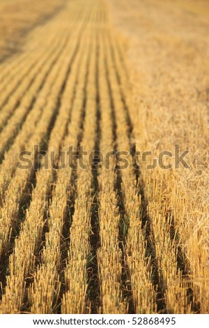 Rows of stubble harvested wheat field, Shallow DOF. - stock photo