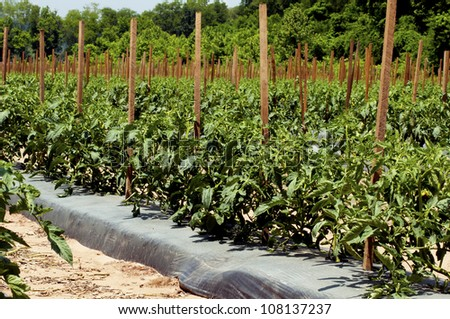 Rows of tomato plants fill a valley