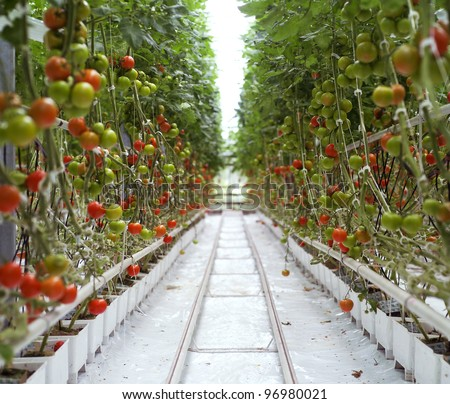 Rows of Tomatoes in a Greenhouse - stock photo