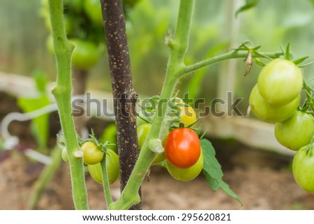 Rows of Tomatoes in a Greenhouse. Green tomatoes. Red and green tomatoes ripening on the bush in a greenhouse of transparent polycarbonate. Tomatoes twig with flowers and small green fruits closeup. - stock photo