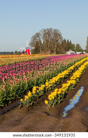 Rows of tulip flowers at a family farm with the flowers reflecting in standing water on the ground in the morning light. - stock photo