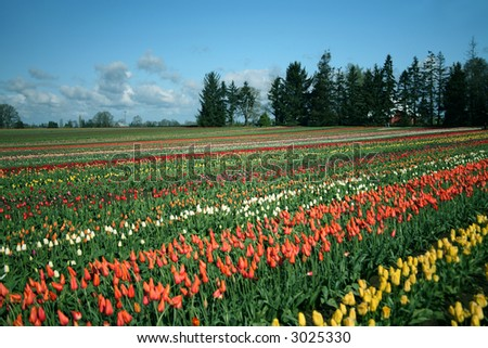 Rows of Tulips Growing in Field at a Tulip Farm in a Rural Oregon Community - stock photo