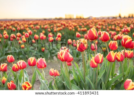 Rows of Tulips partially open collecting valuable warmth actually required to grow
