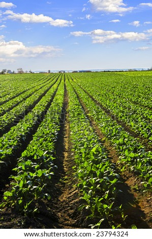 Rows of turnip plants in a cultivated farmers field - stock photo