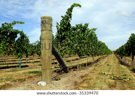 Rows of vines in New Zealand - stock photo