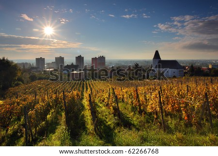 Rows of vines to sunrise in Bratislava