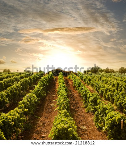 rows of vines to sunset - stock photo