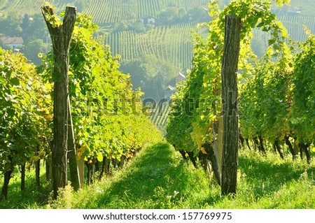 Rows of vineyard on hill before harvesting in Slovenia