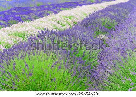 Rows of white and purplelavender in a field at peak bloom in Sequim, Washington, US. Sequim is the lavender Capital of North America. Lavender is a beautiful herbal flower. Agricultural landscape.