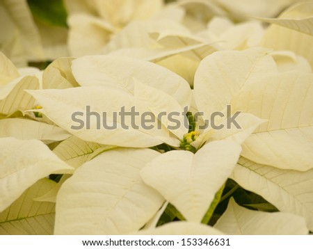 Rows of white poinsettia plants being grown at a Colorado nursery in preparation for the holiday season. - stock photo
