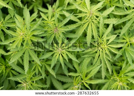 Rows of wild uncultivated cannabis hemp plant growing free in the wild - stock photo