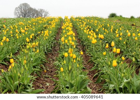 Rows of yellow tulips blooming at the Wooden Shoe Tulip Farm in Woodburn, Oregon - stock photo