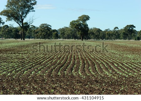 rows of young canola plant in a rural paddock - stock photo