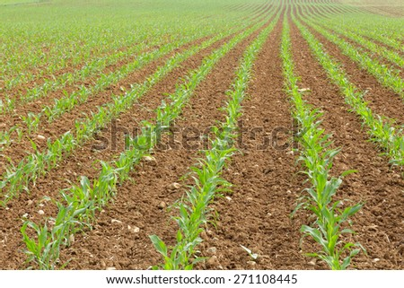 Rows of young corn in spring time