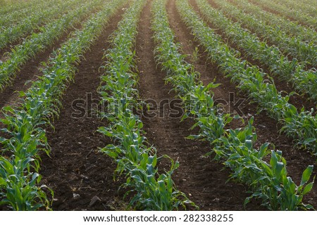 Rows of young corn plants dripping with dew in the morning - stock photo