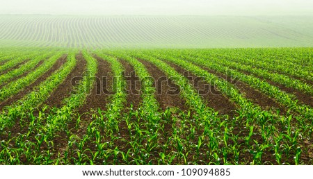 Rows of young corn plants on a moist field in a misty morning - stock photo
