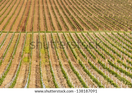 Rows of young grapes in the countryside in Ilok, Croatia