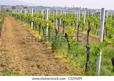 rows of young grapes in wineyards of southen Germany region Rheinland Pfalz - stock photo