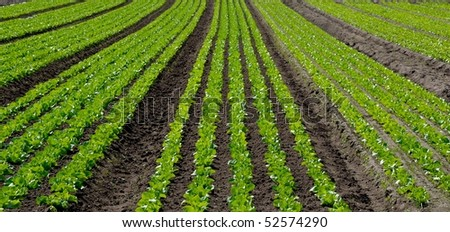 Rows of young lettuces