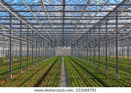 Rows of young plants in pots growing in the greenhouse - stock photo