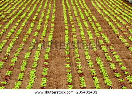 Rows of young salad seedlings planted on a farm providing fresh produce for the market, receding background view