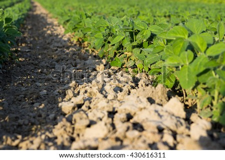 Rows of young soybean plants in a field Soybean Field Rows in summer, selective focus  - stock photo