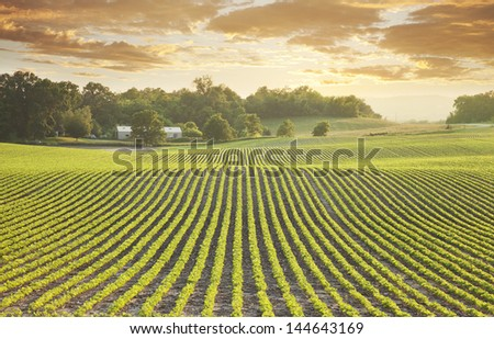 Rows of young soybean plants shot at sundown in Minnesota - stock photo