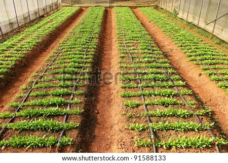 Rows of young vegetable seedlings