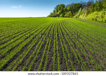 rows of young wheat field in sunny day