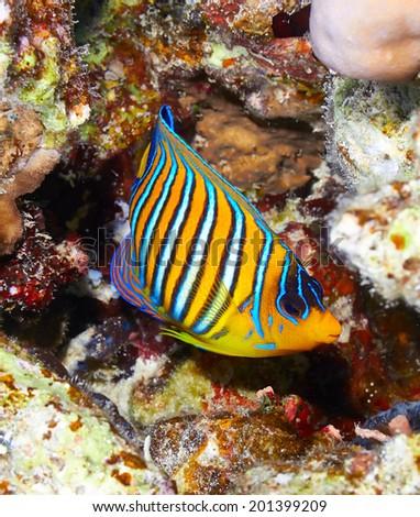Royal angelfish (Pygoplites diacanthus) in the Red Sea, Egypt. - stock photo