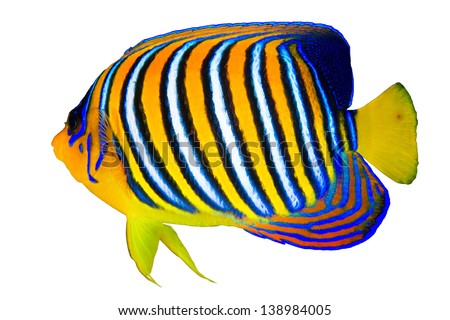 Royal angelfish (Pygoplites diacanthus) isolated on white background. - stock photo