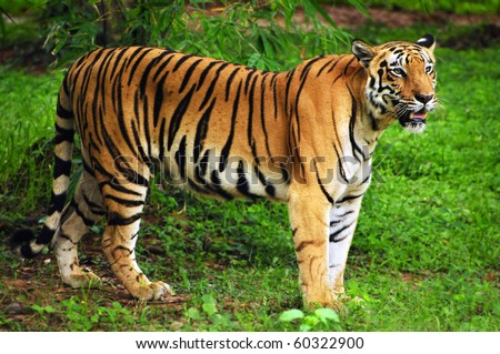 Royal bengal tiger in its natural habitat at Sundarban forest in Bengal India - stock photo