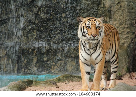 Royal Bengal tiger standing on the rock