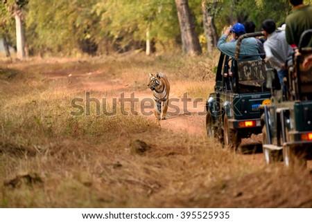 Royal bengal tiger, tadoba, maharashtra, india - stock photo