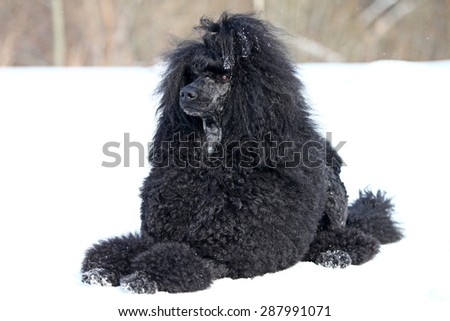 Royal black poodle lying on the snow in the winter - stock photo