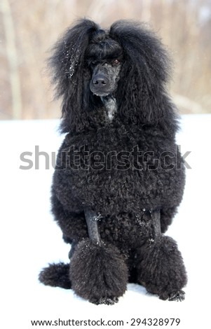 Royal black poodle sitting in the snow in the winter - stock photo