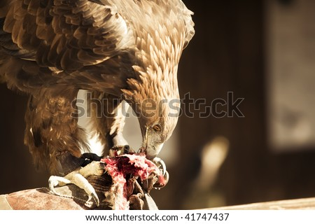 Eagle eating meat - photo#28