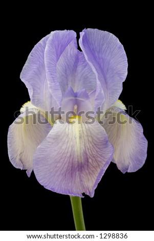 Royal Iris 5 - stock photo