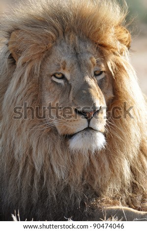 Royal looking lion