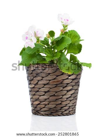 Royal Pelargonium - Geranium in pot, isolated on white background  - stock photo