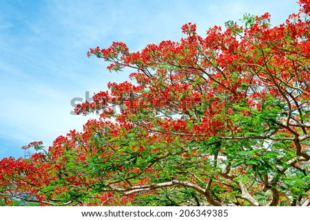 Royal Poinciana, Flamboyant, Flame Tree, that is the way of the countryside. - stock photo
