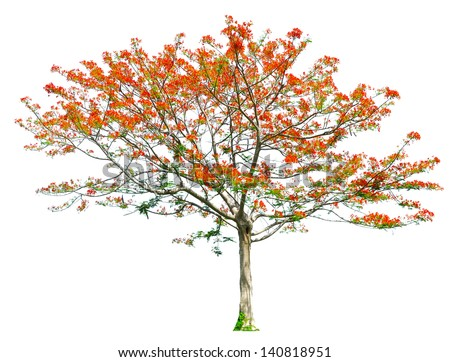 Royal Poinciana or Flamboyant tree (Delonix regia), tropical tree in the  of Thailand isolated on white background - stock photo