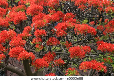 Royal Poinciana Tree (Delonix Regia) aka Flame Tree or Peacock Flower - stock photo