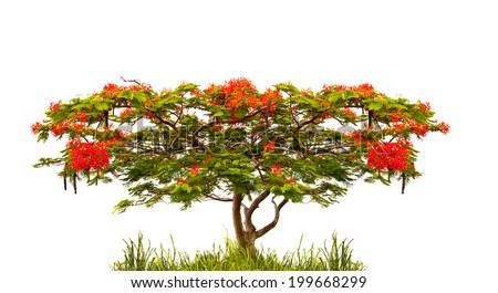 Royal Poinciana tree (Delonix Regia) isolated on white background - stock photo