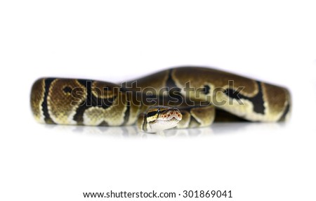 Royal Python, or Ball Python in studio against a white background. - stock photo