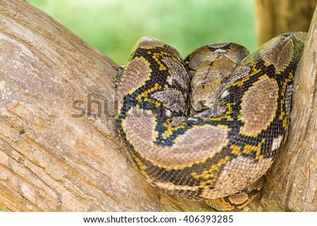 Royal Python, or Ball Python (Python regius) - stock photo